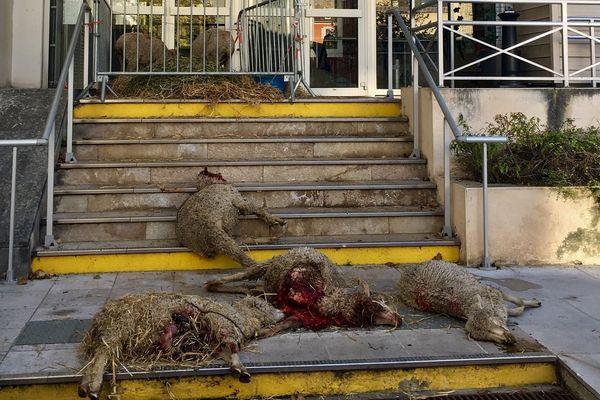 13/11/2019 -  Des brebis mortes ont été déposées devant la préfecture des Hautes-Alpes par des éleveurs, après une nouvelle attaque attribuée à des loups.