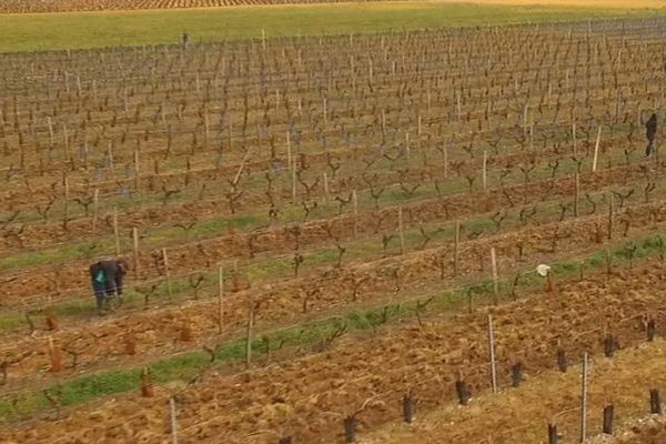 280 000 colliers à phéromone sont posés sur le vignoble de l'île de Ré.