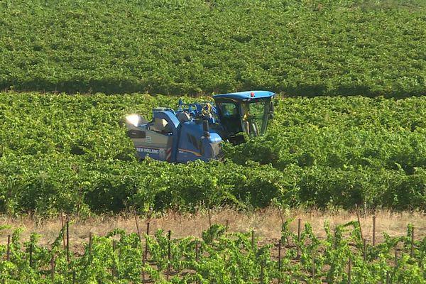 Les vendanges ont débuté dans le Gard mais tous les viticulteurs ne pourront pas récoltés cette année : entre 70% et 90% de raisin en mois suite au gel d'avril dernier - août 2021.