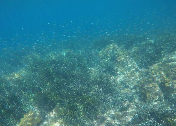 De nombreux poissons viennent se nourrir dans les posidonies