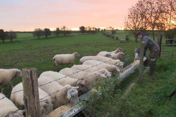 Selon les années, dans cette ferme de Mons-Boubert dans la Somme, l'éleveur a beaucoup de mal à trouver des apprentis