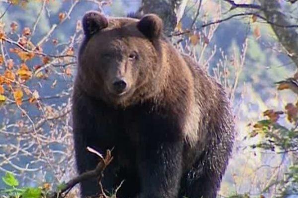 La réintroduction de l'ours ne fait pas l'unanimité sur le massif des Pyrénées.