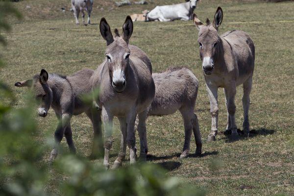 L'âne corse à la conquête de Paris et du Salon de l'Agriculture