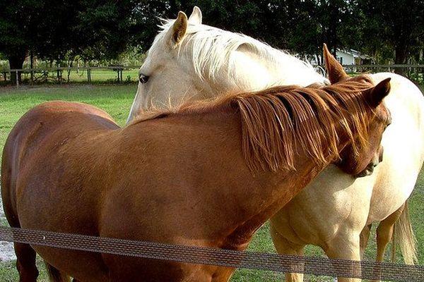 La communication vocale des chevaux est étudiée depuis 2008 par les chercheurs de l'université de Rennes 1