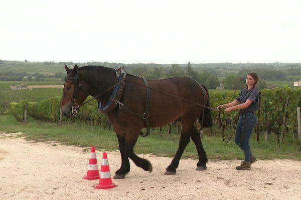 Jade Rossignol, stagiaire, découvre la pratique du cheval de trait, qu'elle envisage comme activité professionnelle.