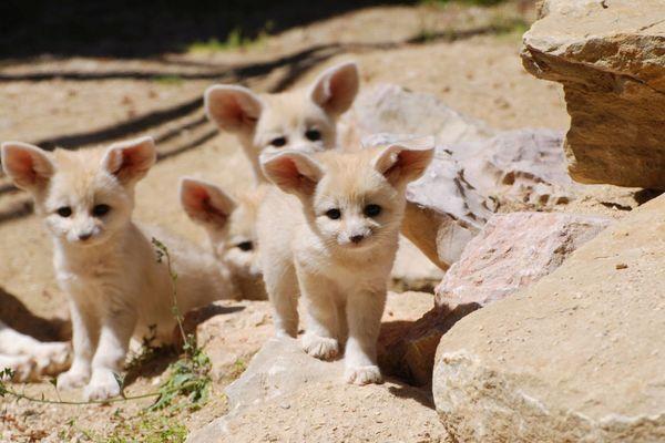Brochette de nouveaux nés, des jeunes Fennec, nés l'an dernier, au zoo de la Barben (Bouches-du-Rhône)