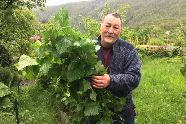 La cueillette des orties dans les Ardennes, un coup de main à maîtriser si on ne veut pas subir les réactions cutanées de ces plantes urticantes. Philippe Payon.