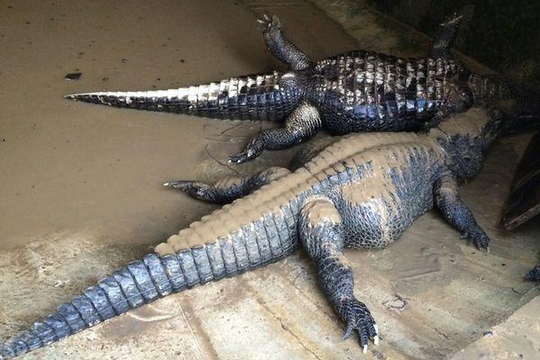 Crocodiles nains femelles morts à la réserve africaine de Sigean après les inondations novembre 2014