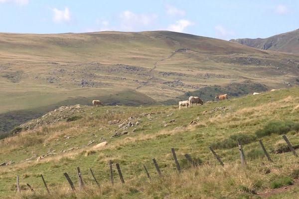 Dans le Cantal, de nombreux éleveurs s'inquiètent de la progression de la maladie du charbon qui frappe surtout les veaux.