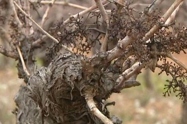 Un des pieds de vigne de la région du picpoul