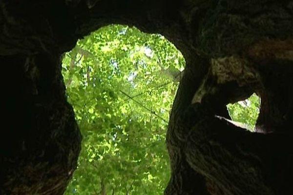 Le majestueux tilleul de Veilly (21) est creux à l'intérieur et fût planté sous le règne d'Henri IV