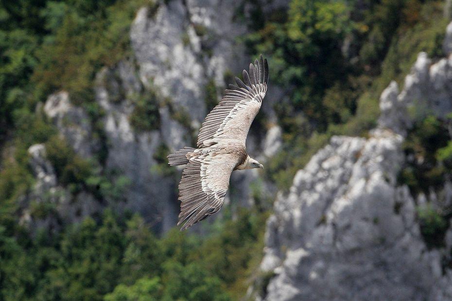 En Auvergne-Rhône-Alpes, pourquoi la présence du vautour divise