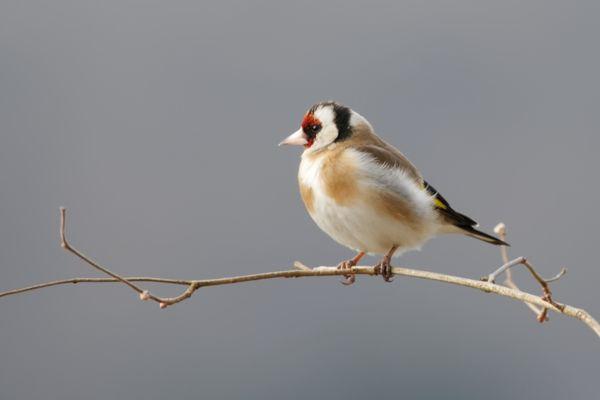 Chardonneret élégant, une espèce d'oiseau en déclin modéré entre 2002-2019 selon les observations de la LPO