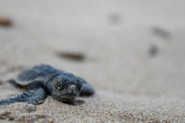 Le bébé tortue avait rejoint la mer sans encombre.