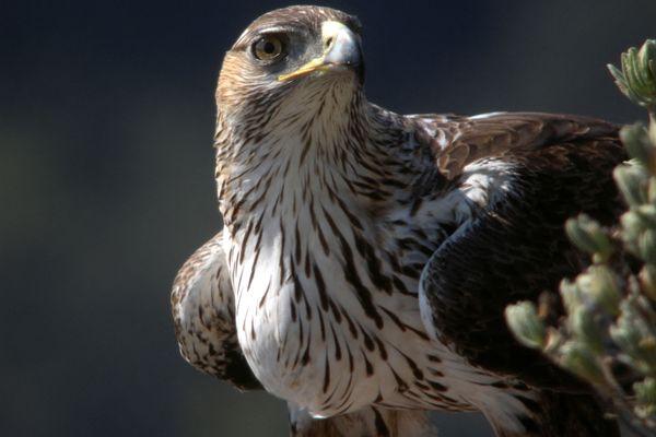 Il ne resterait plus en PACA que 17 couples d'aigles de Bonelli, grand prédateur, dont l'habitat est menacé.