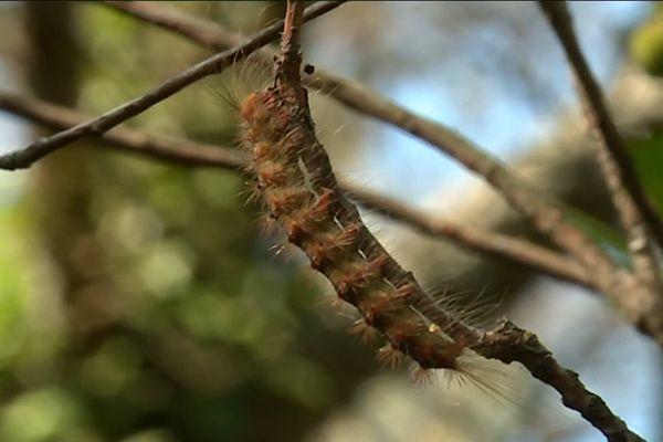 Le bombyx disparate est une chenille qui a ravagé le forêt du Dom sur la commune de Bormes-les-Mimosas.