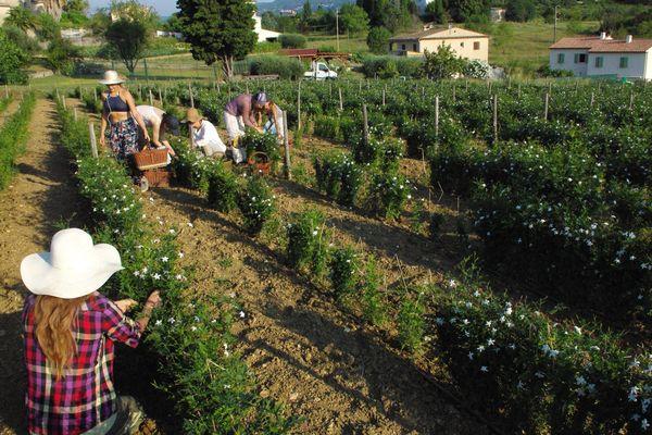 La cueillette des fleurs de jasmin sur l'exploitation de Carole Bancalana en contrebas de Grasse dans les Alpes-Maritimes.