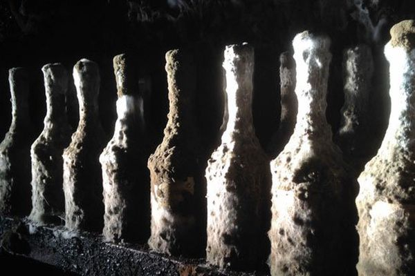 De grands crus de Calvados protégés d'étonnantes moisissures nobles