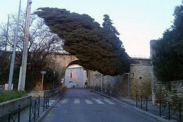 Un cyprès du cimetière de Sernhac dans le Gard, a été déraciné la nuit du 4 au 5 mars 2015 par la violence du vent