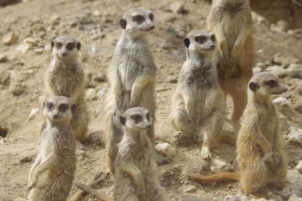 Les suricates (sentinelles du désert d'Afrique) ne vont plus savoir où donner de la tête quand les visiteurs seront de retour