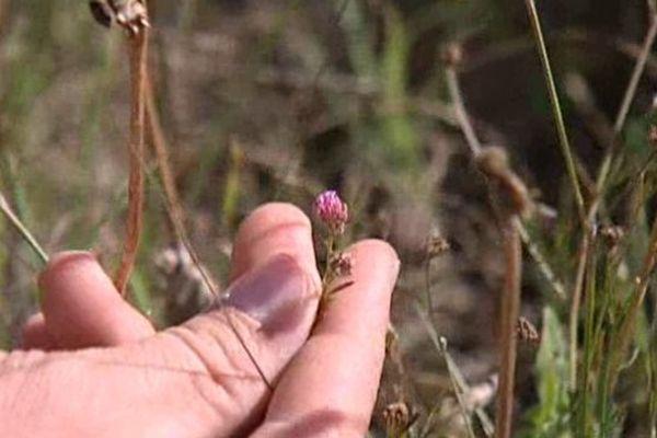 L'Anthyllis de Gérard est une espèce protégée que l'on trouve sur le pourtour méditerranéen