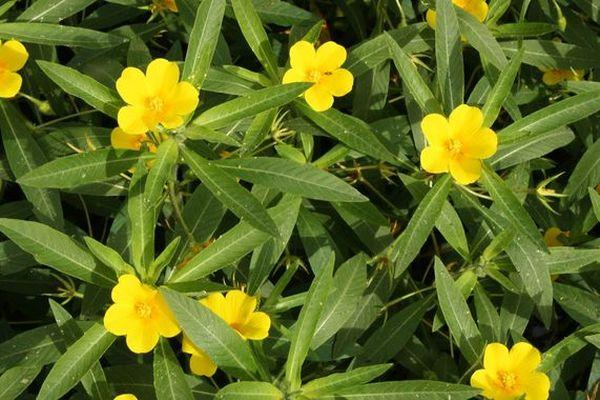 La grand Jussie fait partie des plantes invasives favorisées par le réchauffement climatique en Lorraine