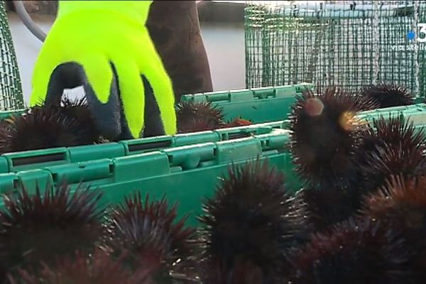La saison des oursin a débuté le 15 décembre.