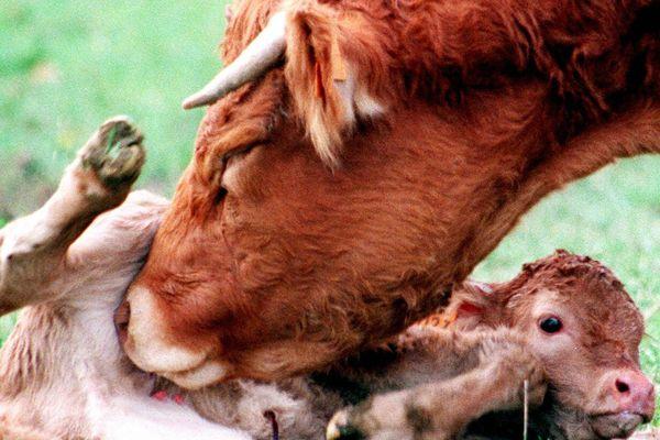 C'est la 2ème race allaitante (à viande) française en termes d'effectifs et la première pour son activité à l'export. La race Limousine est à l'honneur du Sommet de l'élevage, du 4 au 6 octobre 2017, où elle organise son concours national.