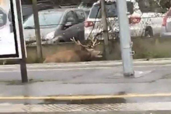 Le cerf poursuivi par des chasseurs s'est retrouvé sur les voies en gare de Chantilly avant de s'enfuir dans les bois