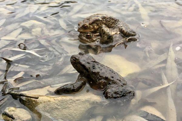 Des opérations de sauvetage sont organisées tous les ans pour sauver les amphibiens qui se rendent sur leurs lieux de reproduction