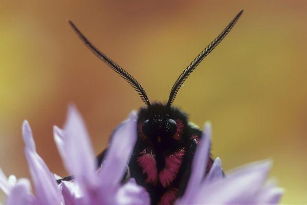 Savez-vous ce qui se cache dans les antennes des papillons ?