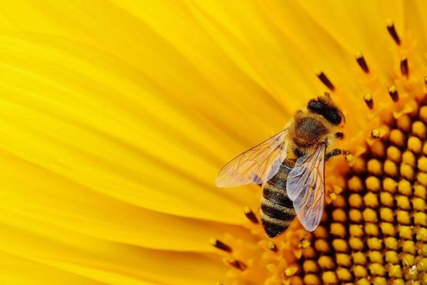 une abeille butinant une fleur de tournesol