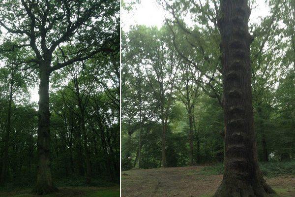 """Ce """"chêne-échelle"""" peut-il devenir l'arbre de l'année 2016 ?"""