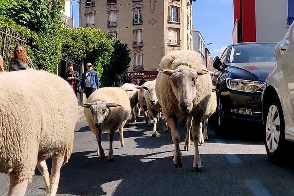 Les moutons, « ultra-domestiqués », marchent aux côtés des curieux.