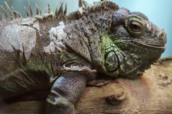 La balade de l'iguane dans un Nausicaá désert à Boulogne-sur-Mer enregistre des milliers de vues