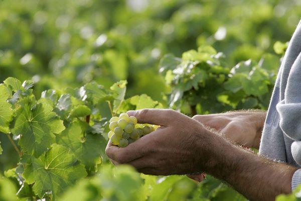 Des viticuleurs du Cher ont décidé de remettre au goût du jour un cépage oublié originaire de Montluçon, une façon de préserver la biodiversité.