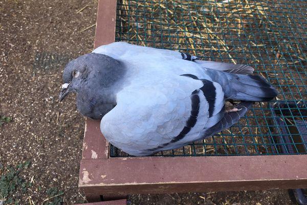 Pour ce pigeon, il est déjà trop tard...