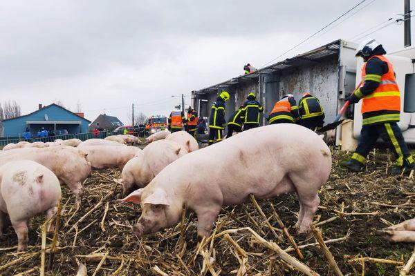 Wulverdinghe : un camion transportant une centaine de cochons se renverse, une trentaine d'entre eux décèdent.