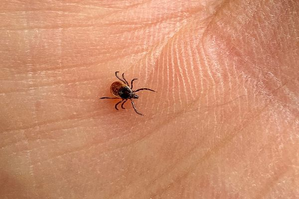 La tique quand elle est infectée peut être vecteur de la maladie de Lyme