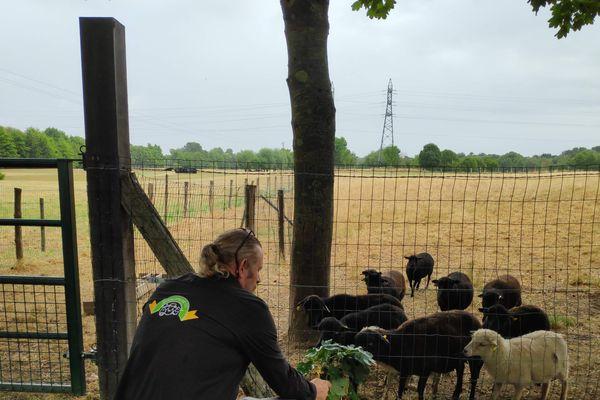 Alain Redureau a perdu 14 moutons d'Ouessant en deux jours.