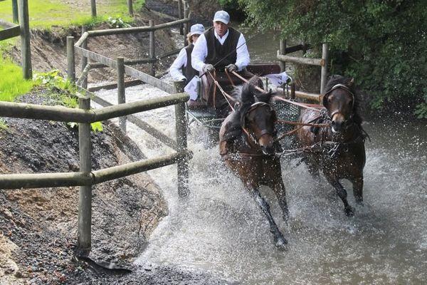 L'attelage et la compétition ne font pas peur sont une discipline où excellent les Dartmoor