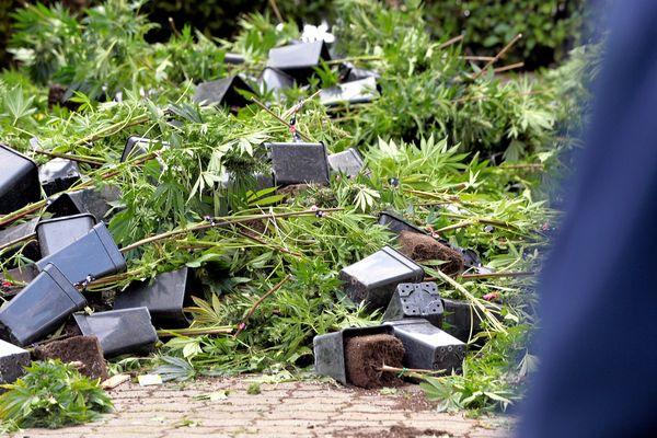 1.000 plants de cannabis ont été saisis à Vauvert par le SRPJ de Nîmes et de Montpellier - 30 mars 2016