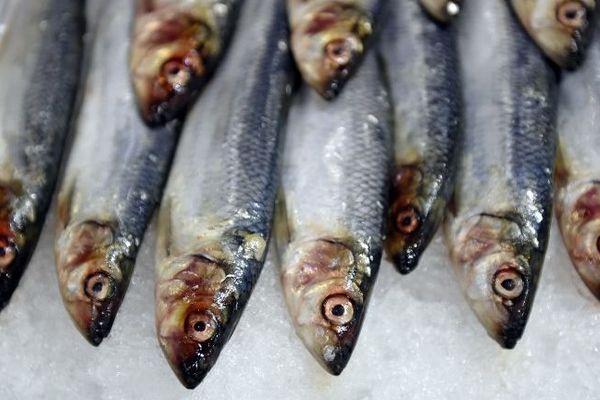 La sardine est une des espèces les plus menacées en Méditerranée.
