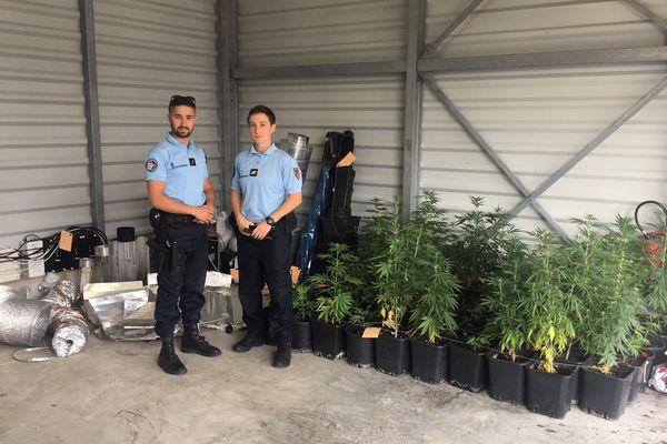 70 plants de cannabis cultivés en intérieur ont été saisis à Maraussan, dans l'Hérault.