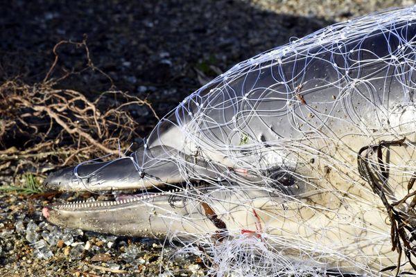 Ce jeune dauphin commun a été trouvé échoué sur une plage de Ploemeur (56), emprisonné dans un filet de pêche et sans nageoire caudale, tranchée .