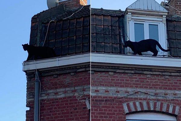 Une panthère noire en liberté sur des toits à Armentières, dans la soirée du 18 septembre 2019.
