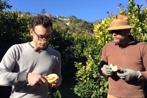Dans l'exploitation de Laurent Gannac, père et fils dégustent le citron de Menton.