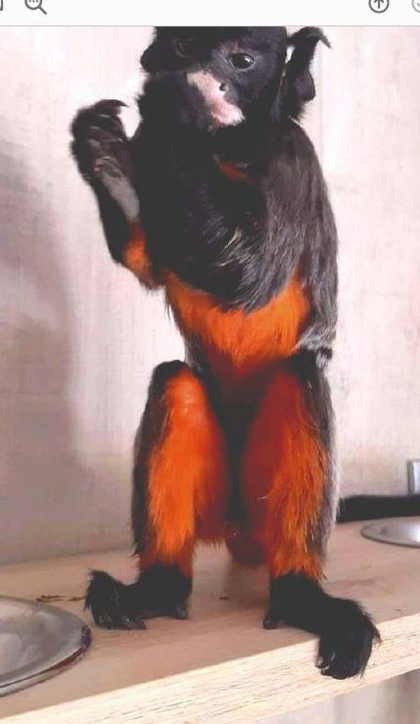 Le tamarin labié, est très sensible au stress et pourrait ne pas survivre à un changement d'environnement brutal