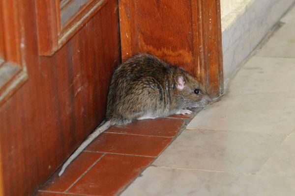 Il y aurait au moins, en moyenne, un rat et demi par habitant à Marseille.
