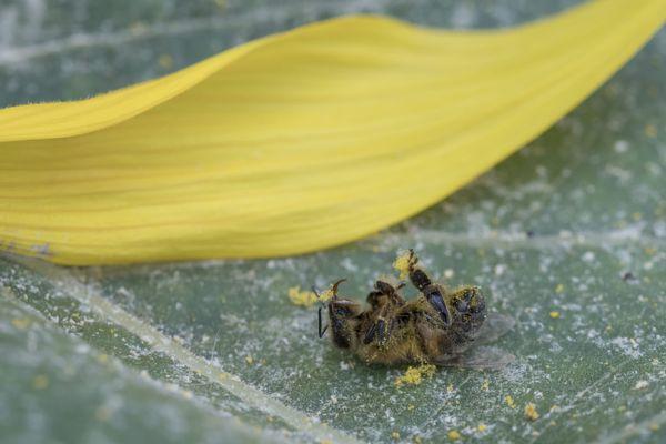 Les néonicotinoïdes, molécules très efficace pour lutter contre les insectes ravageurs, sont également dangereux pour les abeilles. Photo d'illustration